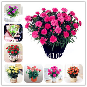 Potted-Plants Flower Bonsai Carnations Balcony Garden Dianthus Mini Home 50pcs Caryophyllus