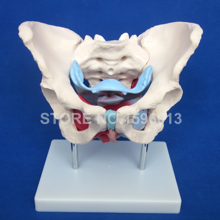 HOT Female Pelvis Model With Muscles and Organs, Anatomical Female Pelvis Model 22cm head acupuncture point model head acupuncture four function model acupuncture model