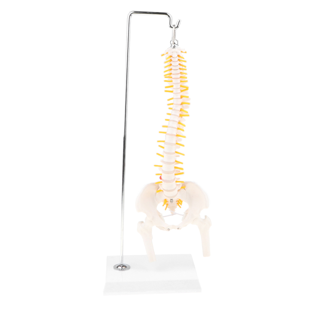 50cm Hanging Human Lumbar Pelvis Vertebrae Coccyx Skeleton Model Medical Study Display Lab Supplies life size pelvis with 5pcs lumbar vertebrae model pelvis model lumbar vertebrae model