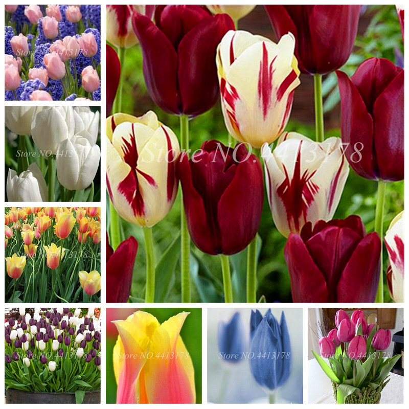 Bonsai 100 Pcs Bonsai Tulip (Not Tulip Bulbs)24 Varieties Rainbow Tulip High-Grade Flower Potted Plant Most Beautiful * Colorful