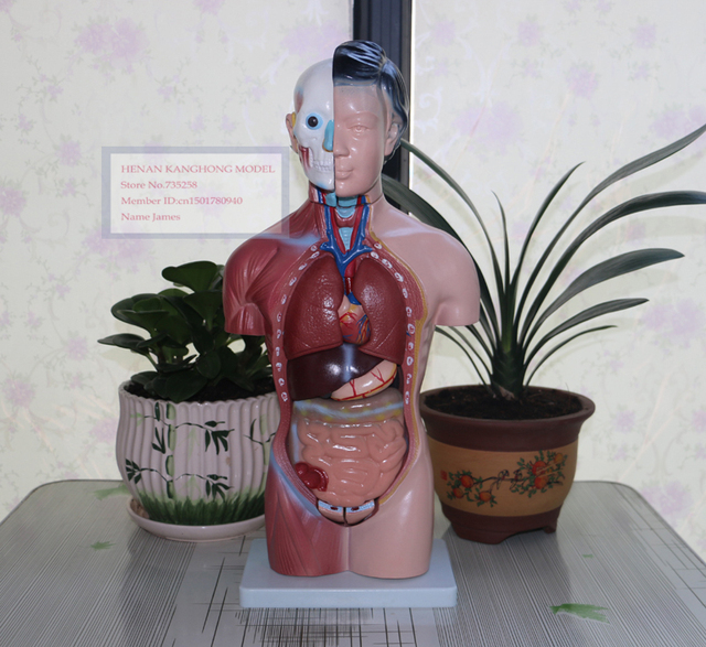 42 CM Weiblichen Torso 15 Teile, Weiblichen Körper Anatomie Modell ...