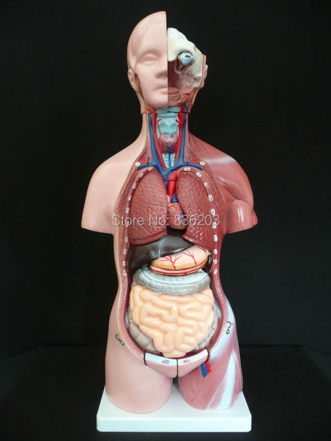 Humano 45 cm unisex torso modelo anatómico en trauma anatomía ...