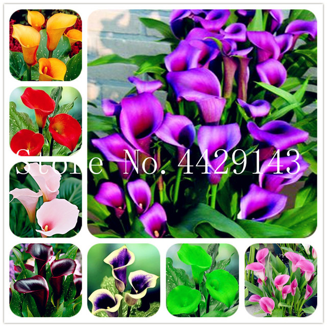 100 Pcs Calla Lily Bonsai Room Flowers Zantedeschia Aethiopica Bonsai Houseplants Home Garden Pot Plant Wedding decoration