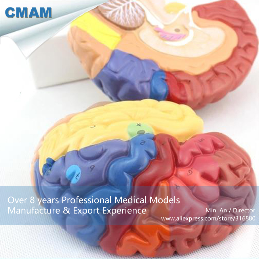 12409 CMAM BRAIN11 Color Functional Anatomy Regional Brain Model ...
