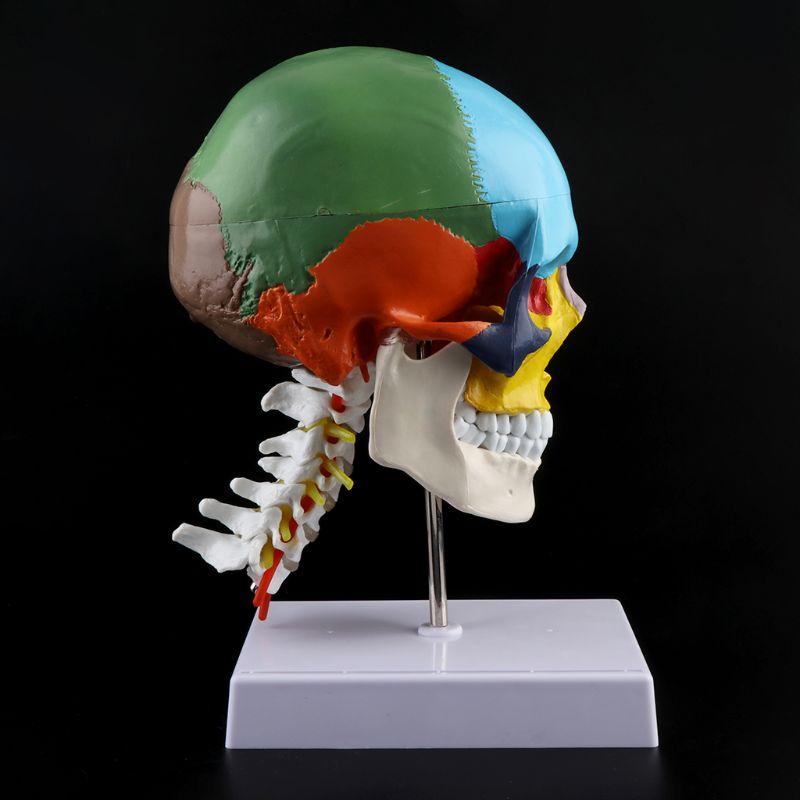 2019 nouveau modèle anatomique squelette humain avec os colorés Sculpture vertèbre cervicale fournitures médicales