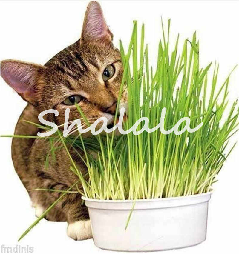 Promotion! 1000 Pcs Cat Grass Bonsai Herb Edible Lemongrass Kitchen Vegetable Potted Plant Medicinal Use Graines Legumes Potager