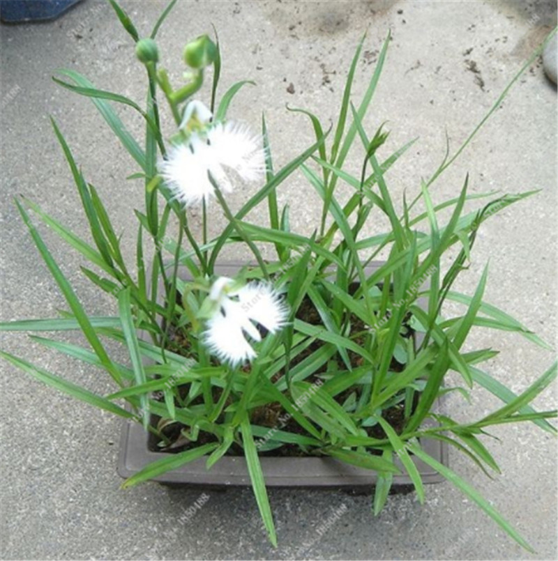 100 pcs white dove orchid seeds rare very easy grow japanese 100 pcs white dove orchid seeds rare very easy grow japanese habenaria radiata egret flowers garden home planting bonsai pot in bonsai from home garden mightylinksfo Image collections