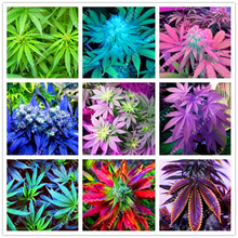 100pcs Hemp Seeds Organic Herb food,A healthy seeds vegetables,Perennial Flower seeds planta/plante for home garden