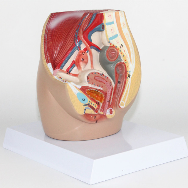 Mini Female Genitourinary System Model Abdominal And Pelvic Anatomy