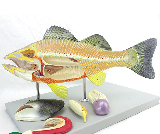 Elenco Simulated Fish Dissection Kit Perch Dissection Model