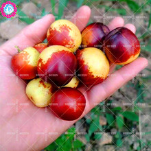 11.11 Big Promotion!10 pcs/lot red date palm seeds jujube tree fruit seed potted in garden&home aweet organic herb plant seeds(China)