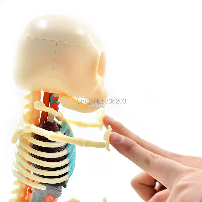 Attractive Gummy Bear Anatomy Model Vignette Human Anatomy Images
