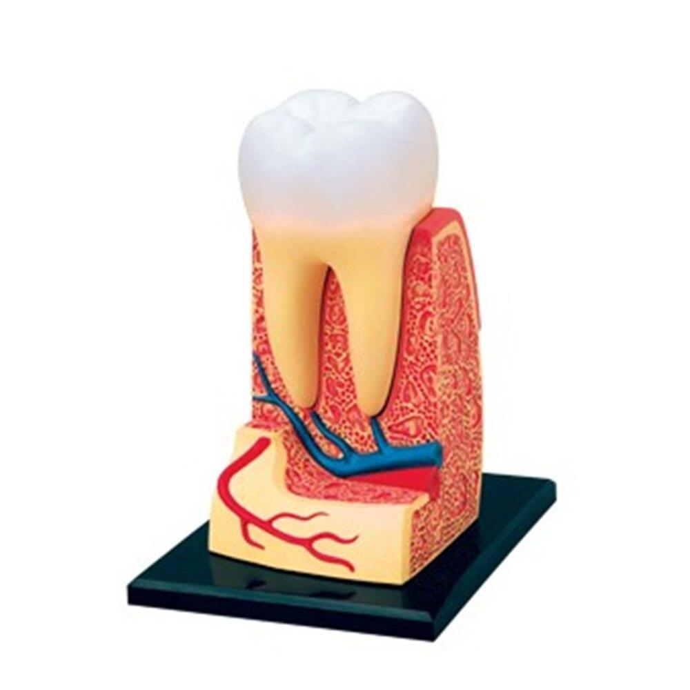 Mini Menschlichen Zähne montage modell Montiert Menschlichen ...