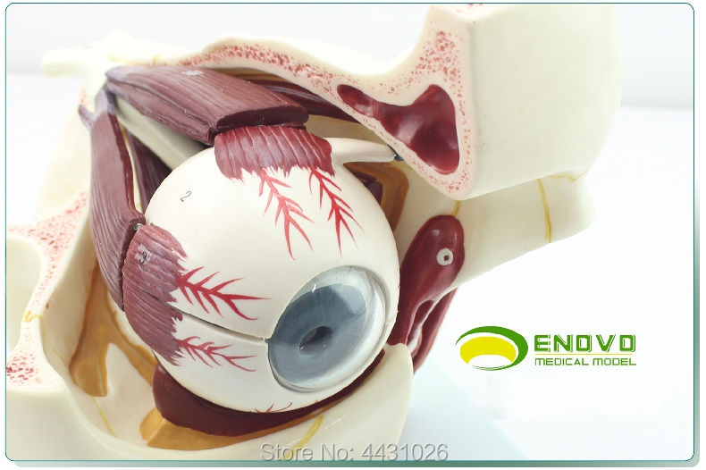 ENOVO The anatomical structure of eyeball orbital anatomical structure enlarges the model of human sensory apparatus an anatomical model of human eyeball structure teaching teaching medicine eyeball model gasenhn 024