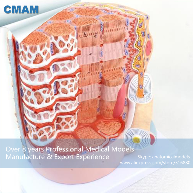 12495 CMAM-HEART20 Skeletal Muscle Fibers Anatomical Medical Science Education Model 12461 cmam anatomy23 breast cancer cross section training manikin model medical science educational teaching anatomical models