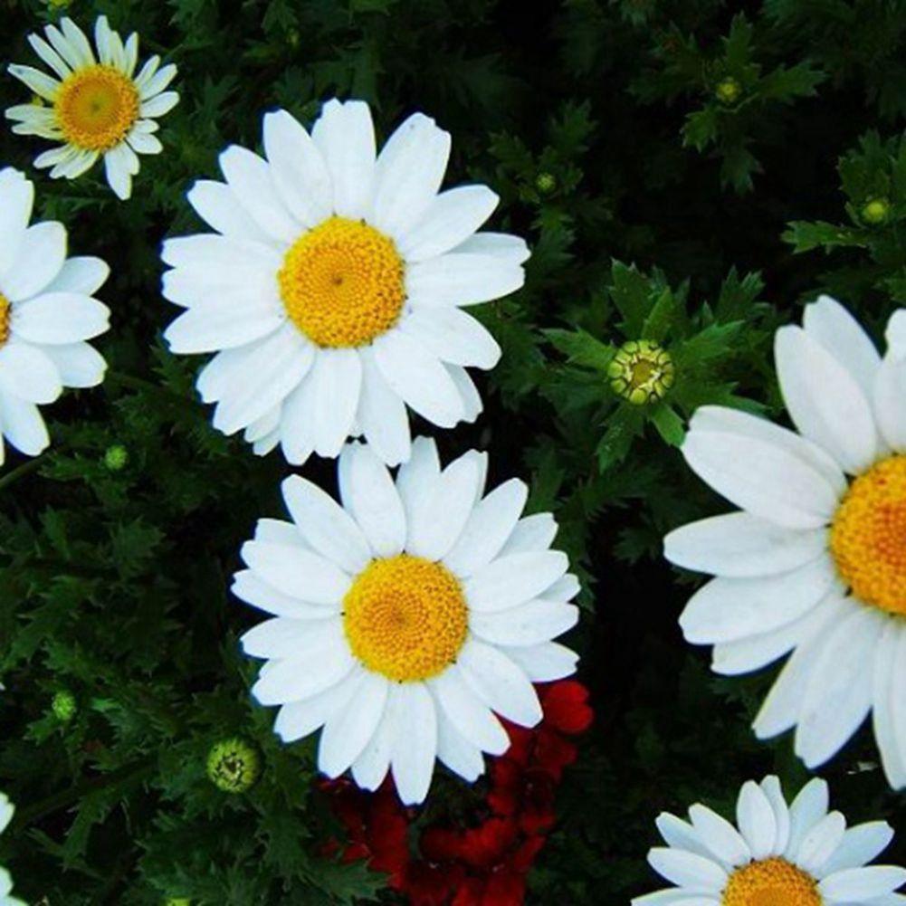 30 White Chrysanthemum Flower Seed Chrysanthemum Multicaule Drought