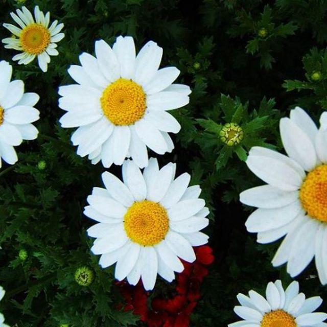 30 white chrysanthemum flower seed chrysanthemum multicaule drought 30 white chrysanthemum flower seed chrysanthemum multicaule drought mightylinksfo