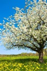 Flower Tree White Bl...