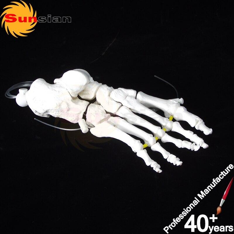 ФОТО The model of foot bone ,human skeleton anatomical model