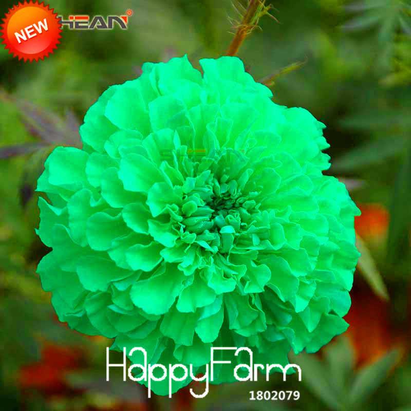New Fresh Green flores Flor planta Jardim Marigold Crisântemo de Ervas Em Vasos Bonsai Maidenhair 50 pçs/lote, # NG6CCL