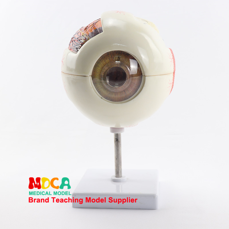 3 times magnification and dismantling 6 parts eyeball anatomy model pupil vision correction medical teaching MYQ0023 times magnification and dismantling 6 parts eyeball anatomy model pupil vision correction medical teaching MYQ002