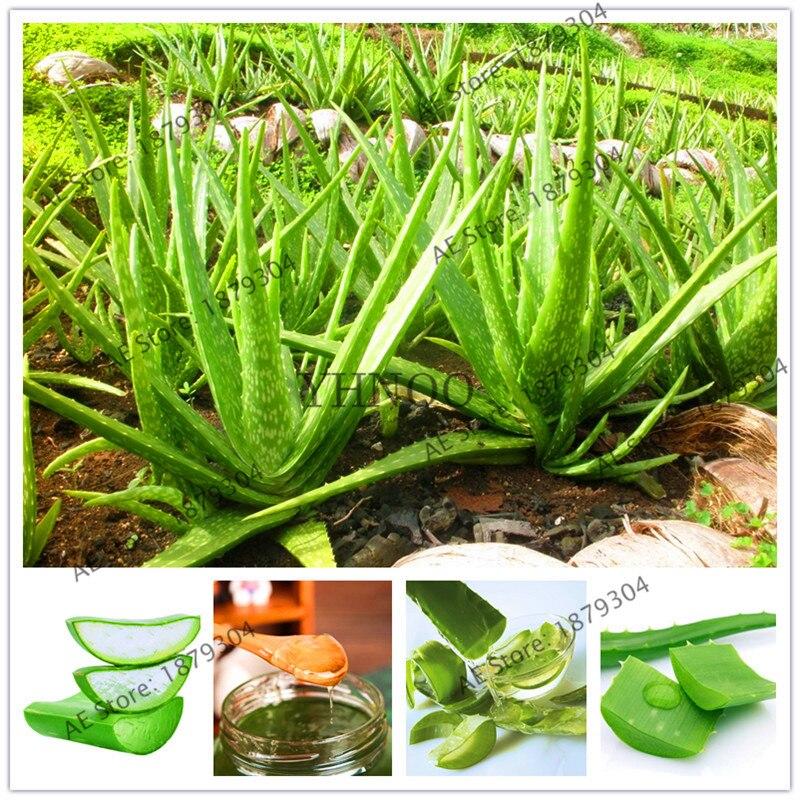 Rare Aloe Vera Plantas 100 Pcs Aloe Vera Plant Herbal Succulent Flores Bonsai Houseplants for Home Garden