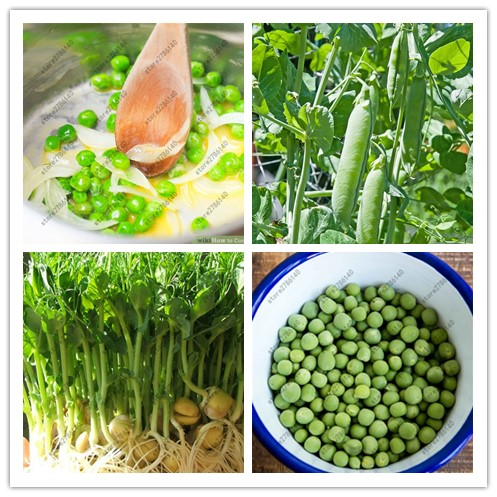 20 pea seeds Super Sweet Green Arrow bean seeds ~ Heirloom vegetable seeds for home garden plant