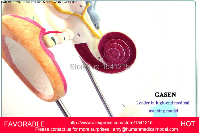 EAR ANATOMICAL MODEL,ANATOMIC MODEL,LABYRINTH , INNER EAR,VESTIBULAR ENLARGEMENT ,EAR STRUCTURE MODEL-GASEN-EBH006 iso new style giant ear model anatomical ear model