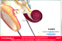 EAR ANATOMICAL MODEL,ANATOMIC MODEL,LABYRINTH , INNER EAR,VESTIBULAR ENLARGEMENT ,EAR STRUCTURE MODEL-GASEN-EBH006