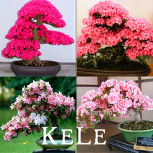 Buy  sai flower Cherry Blossoms For Garden Home  online