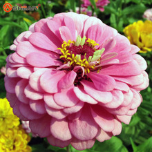 New Arrival Pink Fireball Zinnia Seeds Perennial Flowering Plants Potted Charming Chinese Flowers Seeds 100 Particles /lot