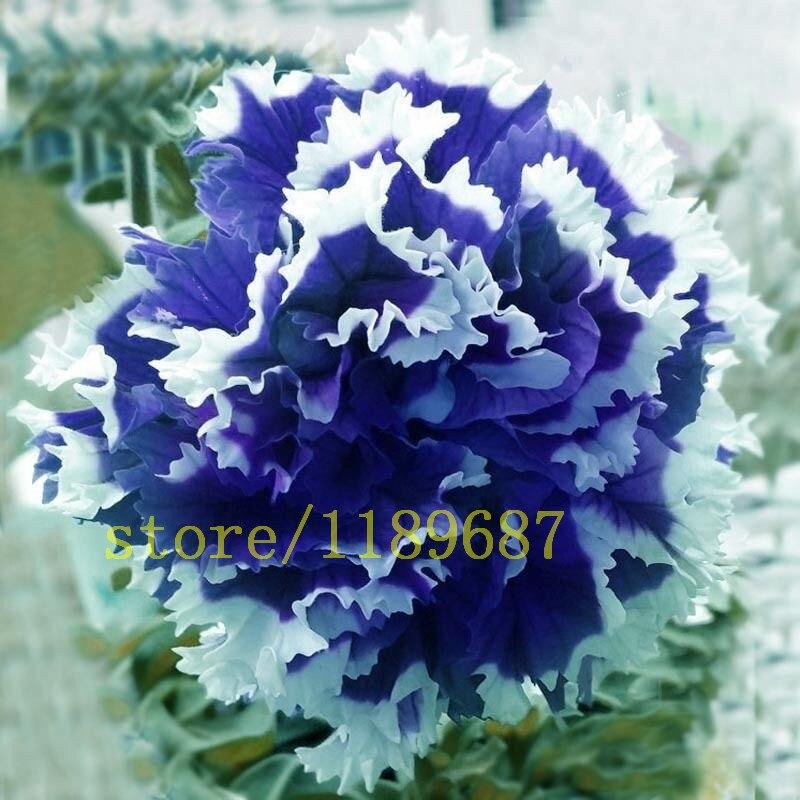 100 шт. редкий голубой семена петунии цветок висит Петуния лепестки, однолетние, Four Seasons могут быть установлены