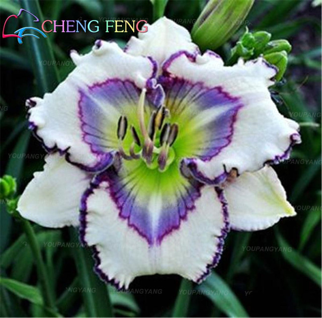 200 Pcs Rare Lily Bonsai Not Lily Bulbs It Is Bonsai Bonsai Lily Flower Bonsai Pleasant Fragrance Plant For Home & Garden