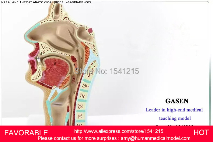 HEAD ANATOMY MODEL,MOUTH THROAT MODEL SIDE OF BLOOD VESSELS AND NERVES,ORGANS MODEL NASAL CAVITY AND THROAT MODEL-GASEN-EBH003 amita yadav kamal singh rathore and geeta m patel formulation evaluation and optimization of mouth dissolving tablets