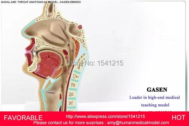 Anatomie Bouche tÊte modÈle de l'anatomie, la bouche gorge modÈle cÔtÉ de vaisseaux