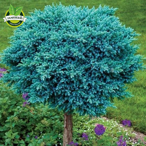 20 Colorado Blue Spruce Picea Pungens Tree Seeds