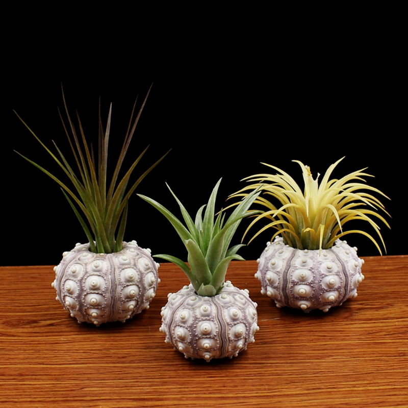 Natural Sea Urchin Air Plant Soilless Plant Creative Potted Plant Flower Pots Shell Conch Small Bonsai Pot Home Decoration