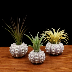 Image 2 - Natural Sea Urchin Air Plant Soilless Plant Creative Potted Plant Flower Pots Shell Conch Small Bonsai Pot Home Decoration