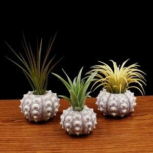 Image 2 - Planta de aire de erizo de mar Natural, maceta sin depósito, original para plantas, macetas, conchas, bonsái, pequeño maceta decoración hogar