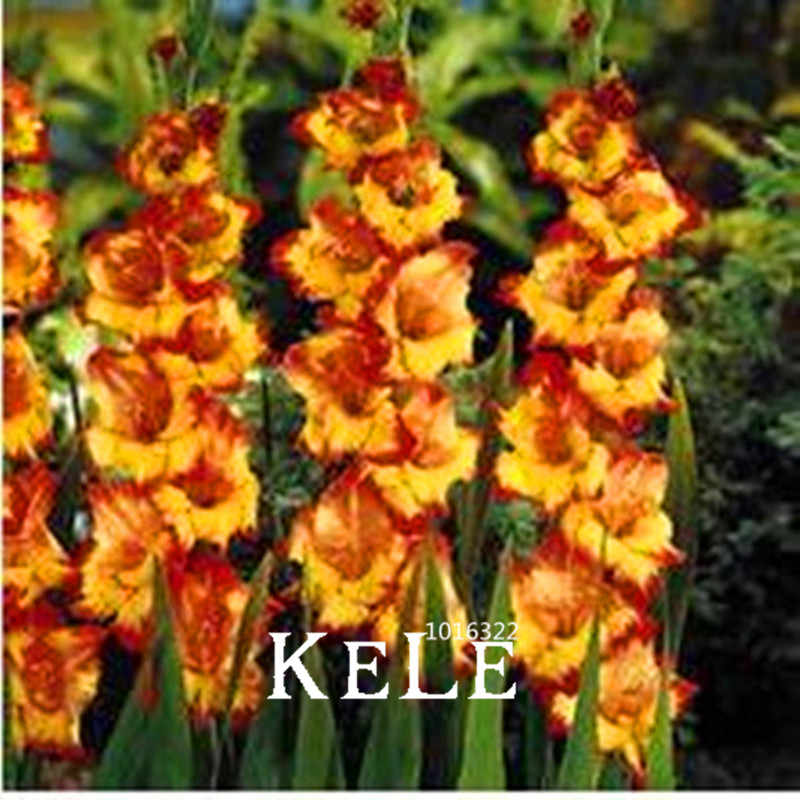 Хит продаж! 100 шт./упак. разные многолетние гладиолус бонсай из цветов, редкий меч Лилия очень красивый для дома сад pla