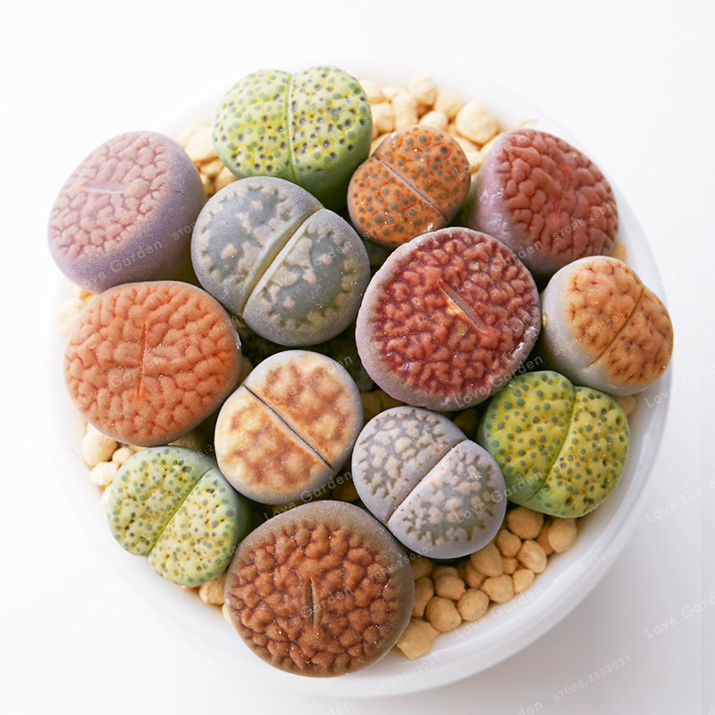 Rare Mix Lithops Bonsa Living Stones Succulent Cactus Organic Garden Bulk Bonsai plant For Indoor Succulent