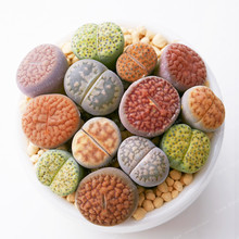 Rare Mix Lithops Bonsa Living Stones Succulent Cactus Organic Garden Bulk  Bonsai plant For Indoor Succulent Plants 100 Pcs