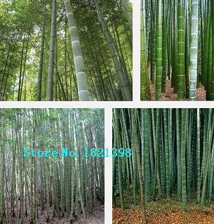 fresco gigante de bamb moso semillas para el