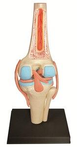 Image 4 - Modelo 4D Master de rodilla humana, modelo de Anatomía de órganos humanos, enseñanza médica, ciencia artesanal