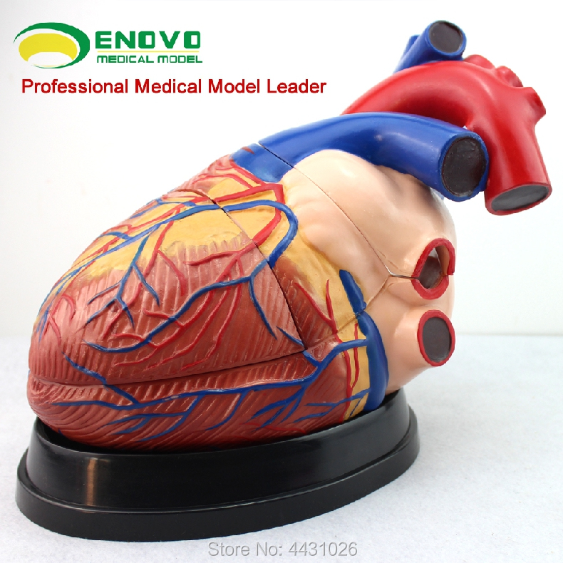 ENOVO Universal medical teaching human cardiac anatomy model cardiology teaching heart model heart anatomy viscera medical model model of cardiac cardiac anatomy cardiovascular model of heart huma heart model gasen xz005