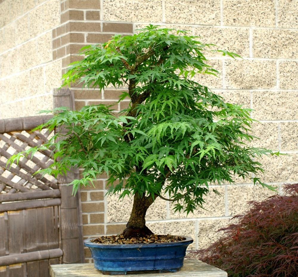 Acero Blu Giapponese 20 mini bella japanese red maple bonsai seeds , bonsai fai
