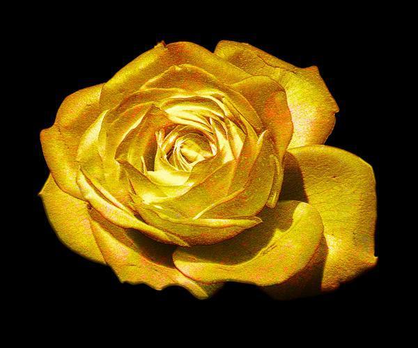 Bonsai Flower Rose Seeds 50pcs Really Rare Golden RoseNatural Growth Beautiful