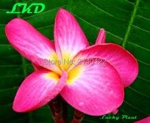 7 15inch Rooted Plumeria Plant Thailand Rare Real Frangipani Plants no83 fescinasion