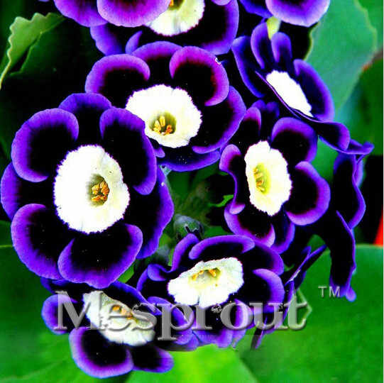 Hot Sale! Promotion! Scarce Rare Phantom Tricolor Petunia Flower Bonsai 200 PCS/pack Garden Bonsai Petunia ME0732 ME#1032