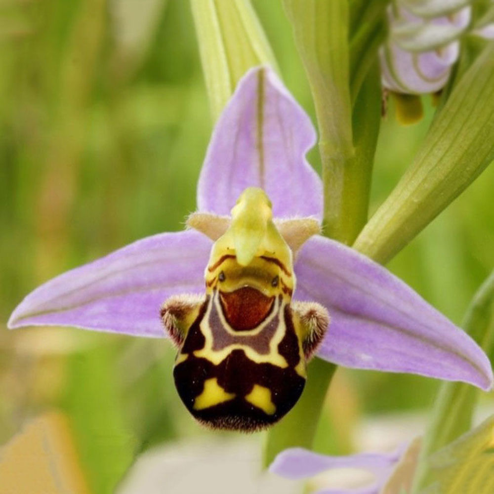 Perennial Flowers 50PCS Rare Seeds Flower Smile Face Bee Orchid ...
